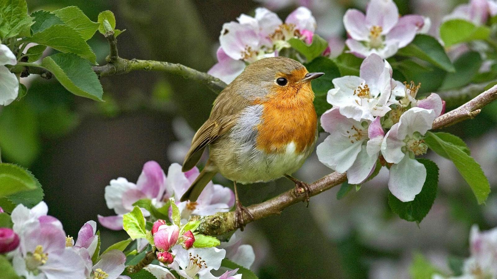 Fond d'écran : la nature, branche, faune, fleur, printemps, oiseau, flore, Fleur sauvage ...