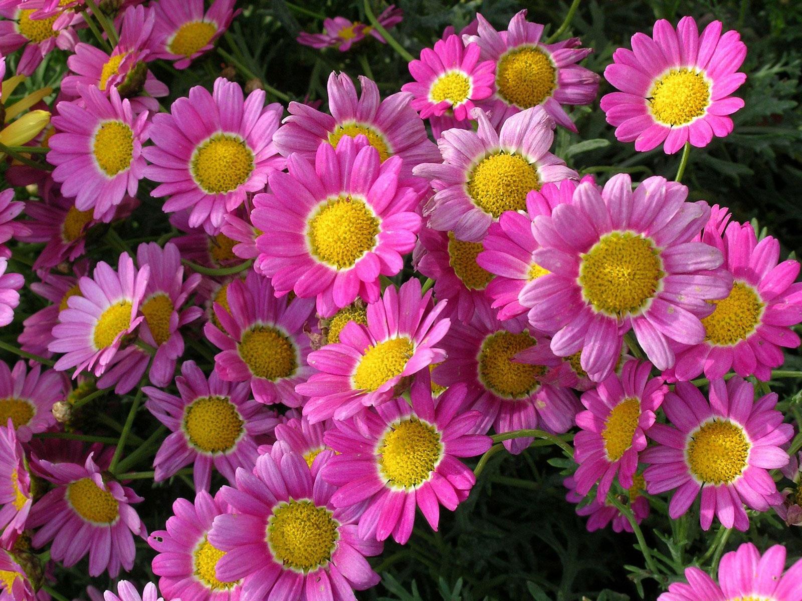 Wallpaper Flowers Green Pink Daisy Flora Petal Flowerbed
