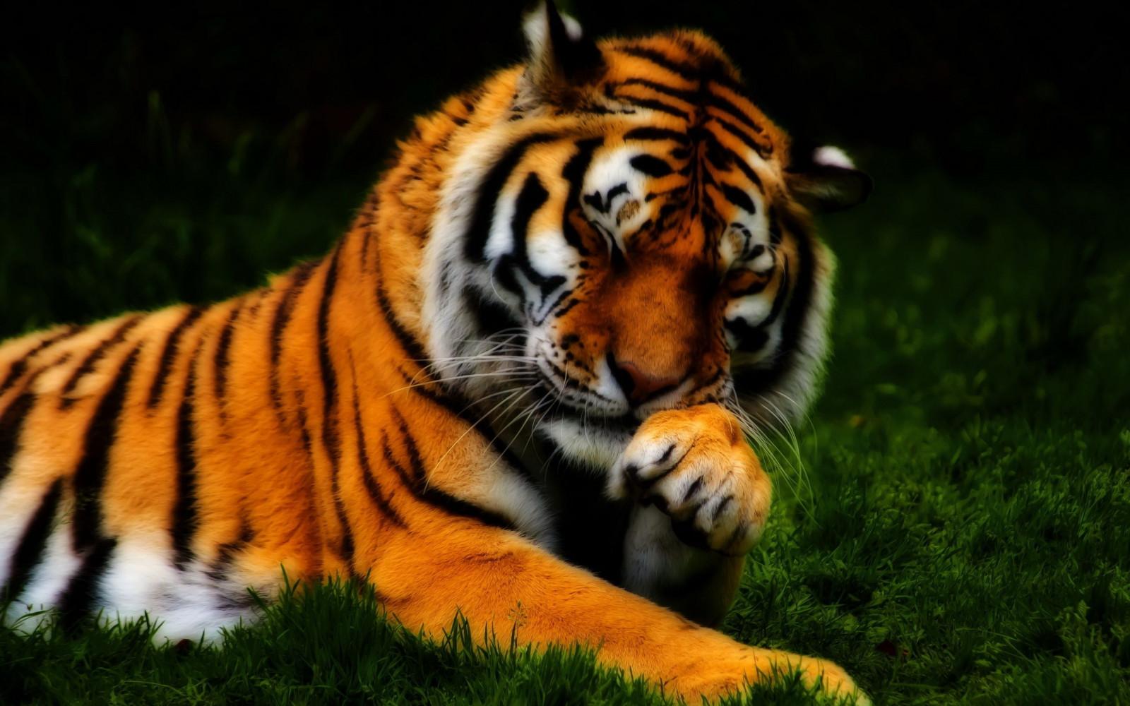 Тигры фото красивые