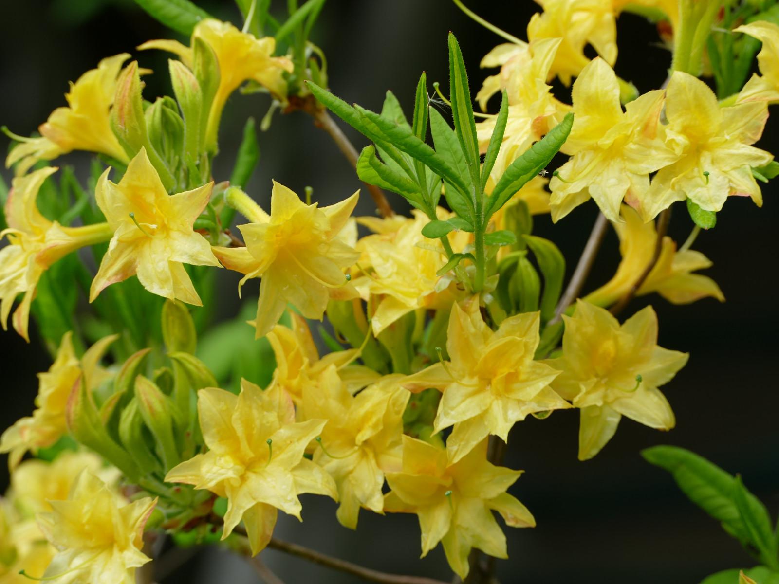 Fond d\'écran : jardin, la nature, jaune, Fleurs, Arbustes, printemps ...