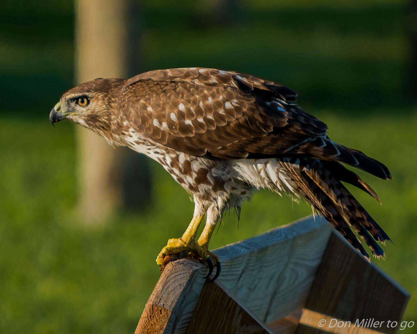 Хищные птицы костромской области фото названия