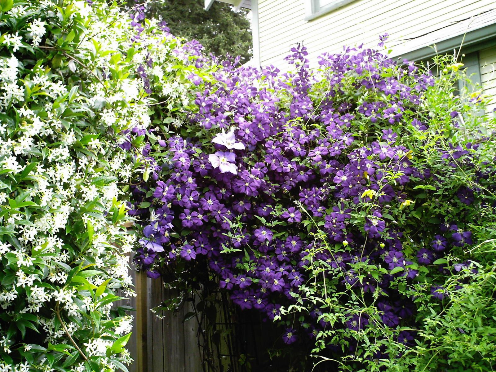Выращивание клематис в саду 64