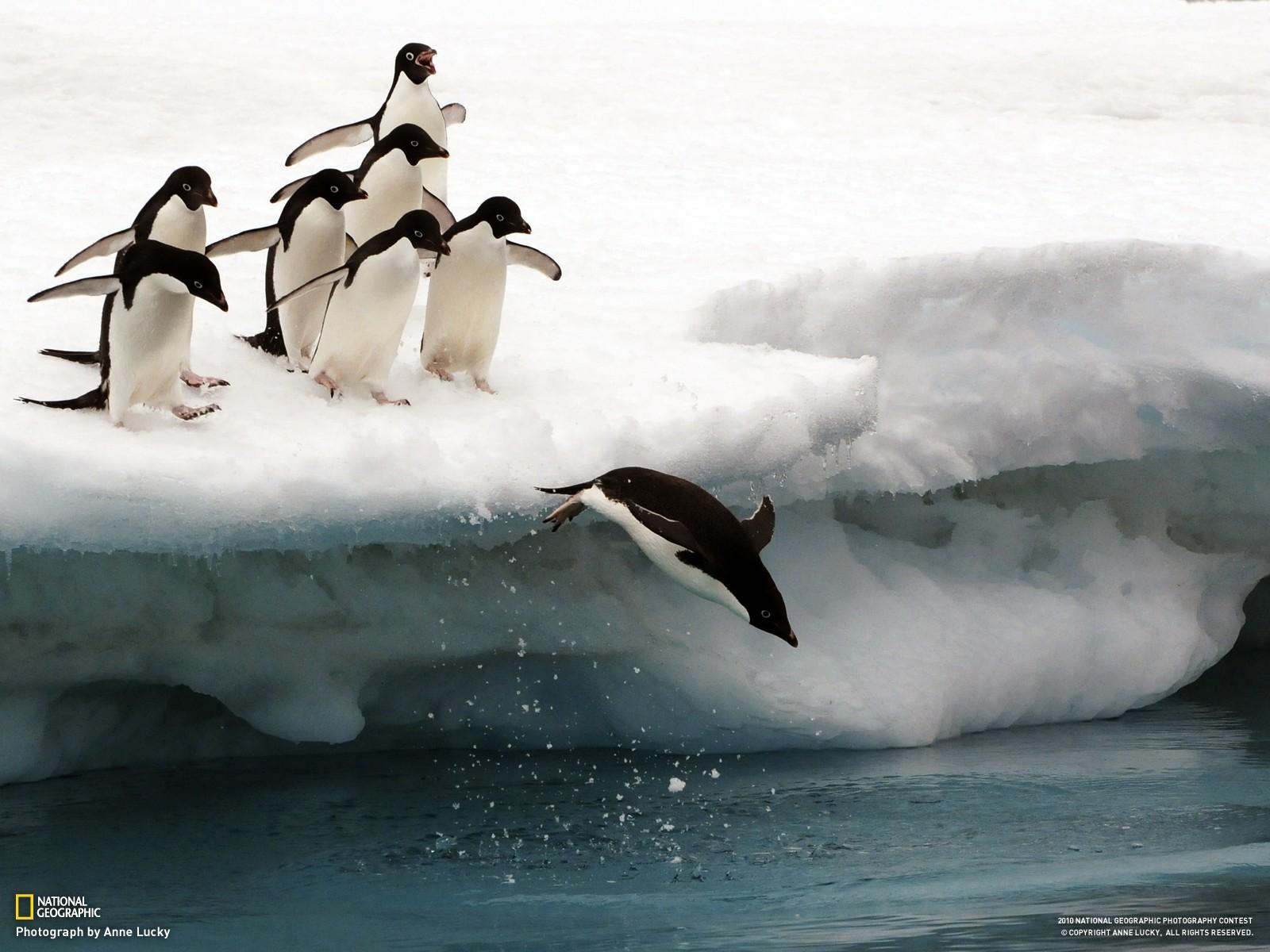 Wallpaper Birds Penguins Animals Snow Iceberg Ice Penguin