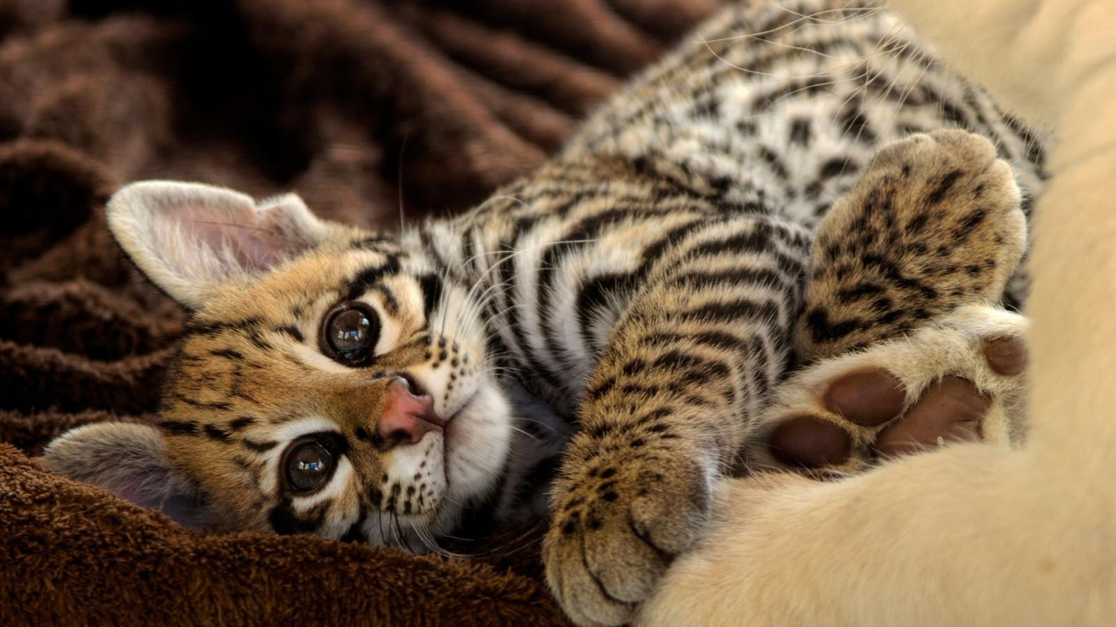 Small Ocelot Like Cat