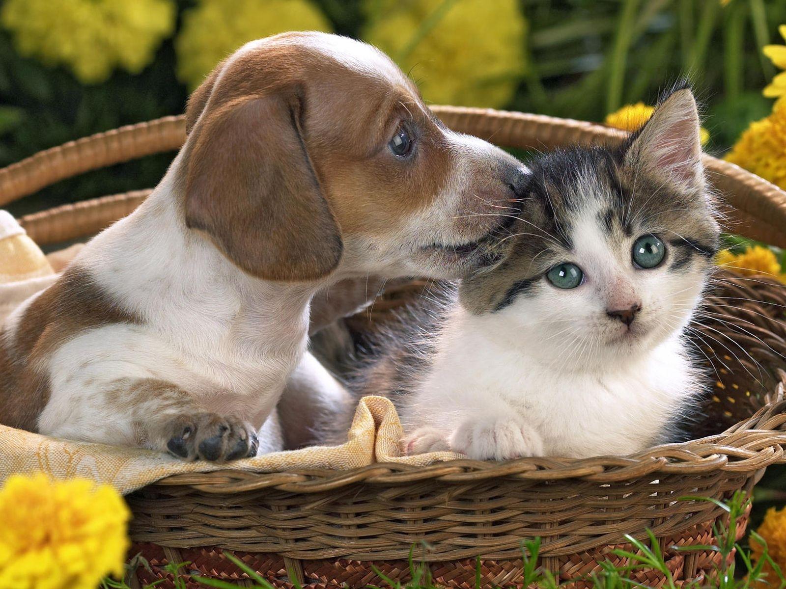 wallpaper : whiskers, basket, puppy, kitten, care, taking, cat like
