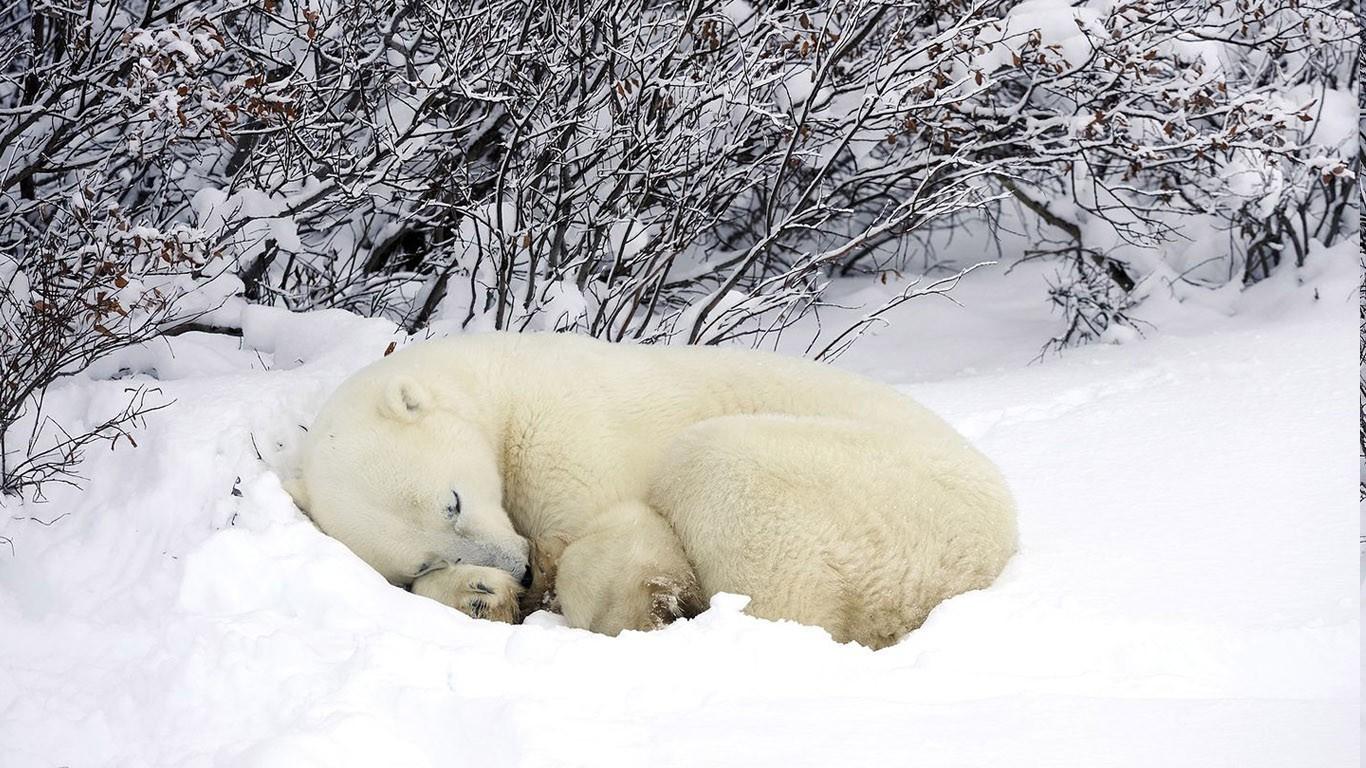 wallpaper animals nature snow winter wildlife polar. Black Bedroom Furniture Sets. Home Design Ideas