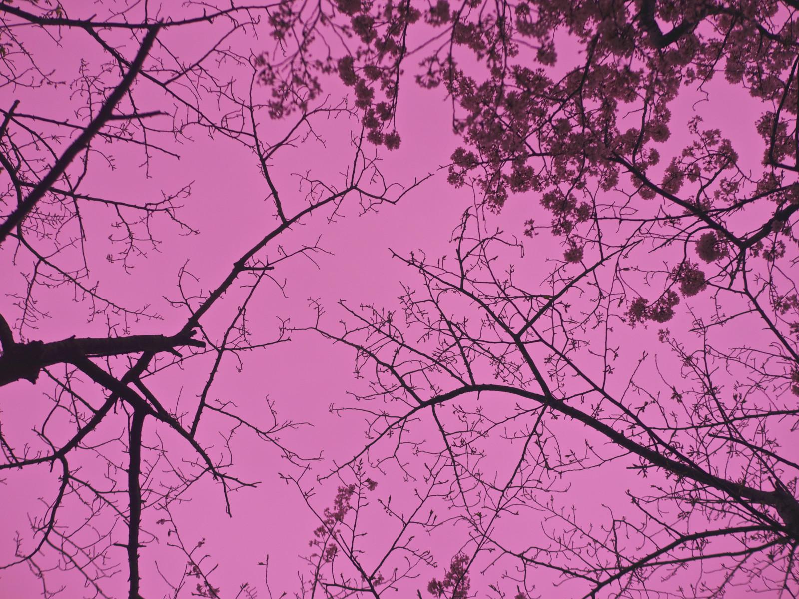 fond d'écran : branche, rose, arbre, violet, feuille, ciel, plante