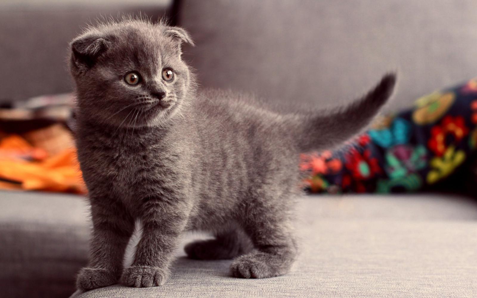 котята фото скоттиш фолд британские